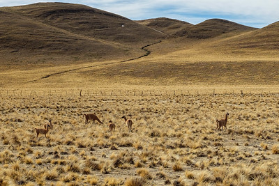 Wild Vicuna, the protected Argentinian national animal