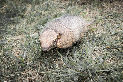 Armadillo ... Torres Del Paine National Park