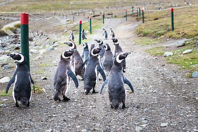 Magellanic Penguins, Magdalena Island, Patagonia