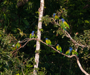 Blue-headed Parrots with Chestnut-fronted Macaws