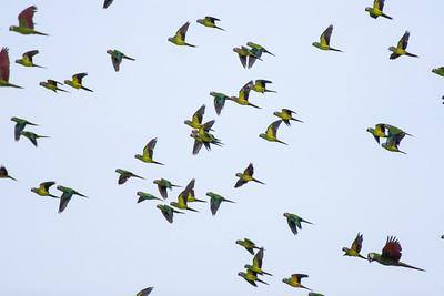 Dusky-eyed Parrots