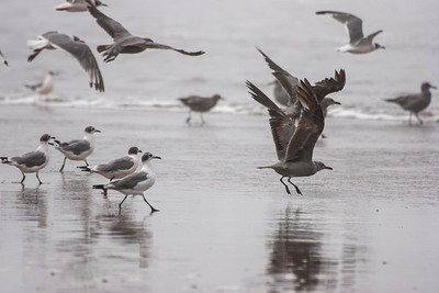 Franklin's and Grey Gull