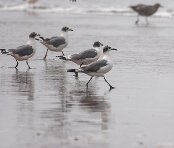 Frankiln's Gulls On the March