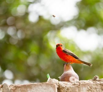 Vermillion Flycatcher Spotting a Snack