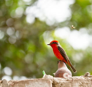 Vermillion Flycatcher on Security Wall