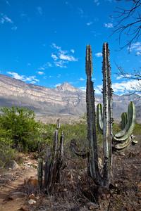 Cactus Sentinels