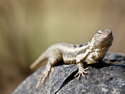 Western Curly-tailed Lizard