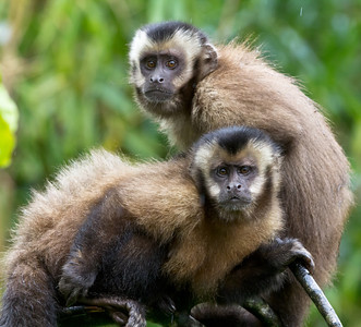 Tufted Capuchin Monkeys