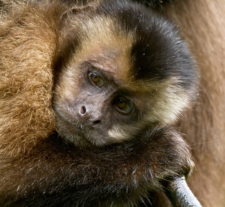 Young Tufted Capuchin Monkey