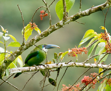 Blue-banded Toucanet