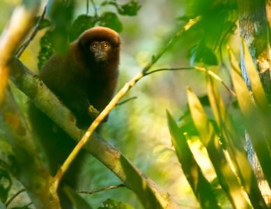 Brown Titi Monkey