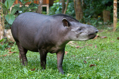 Vanessa the Tapir