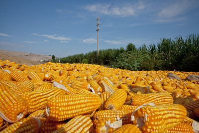 River of Corn
