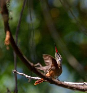 Amazilla Hummingbird