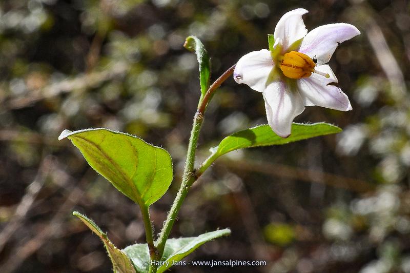 Solanum oxycoccoides (Epiphyte)
