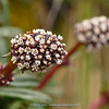 Valeriana cf. globularoides