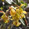 Epidendrum megagastrium