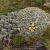 Austrocylindropuntia floccosa (+ fruit)