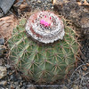 Melocactus peruvianus
