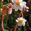 Begonia octopetala