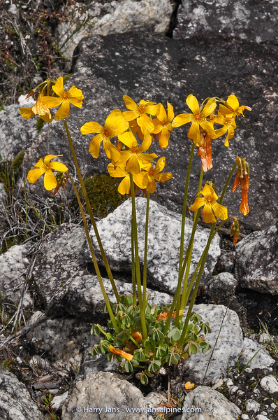 Oxalis pedunculata