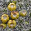 Austrocylindropuntia floccosa (fruit)