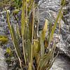 Elaphoglossum mathewsii