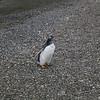 A Gentoo penguin