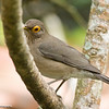 Spectacled Thrush