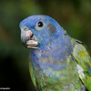resident Blue-headed Parrot