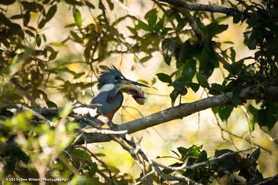 Ringed Kingfisher w/ dinner