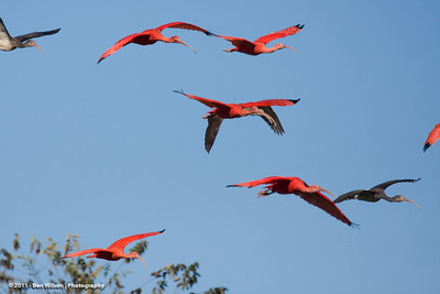 Scarlet Ibis in flight