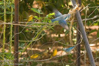 Blue-gray Tanager & Saffron Finch