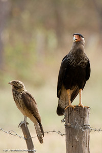 Crested Caracara w an immature Yellow-headed Caracara
