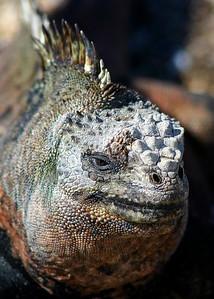 Marine Iguana of Galapagos