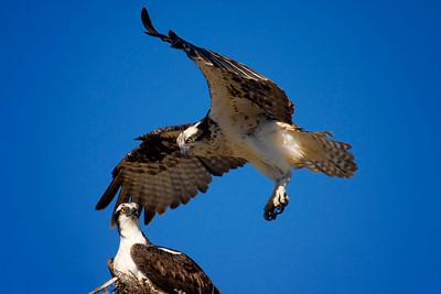 Osprey in Baja, Mexico