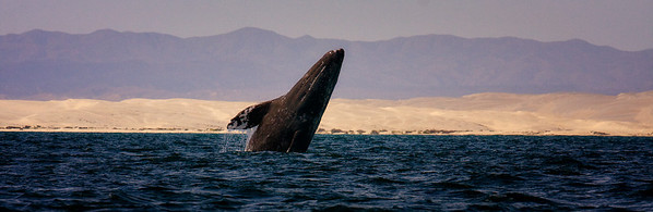 Grey Humpback Whale, Baja, Mexico