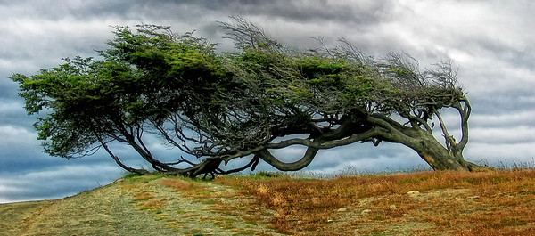 Wind blown tree near Harborton, Argentina