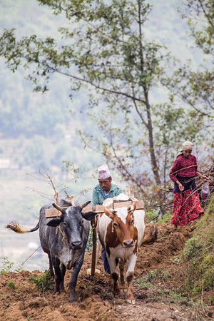 Preparing the fields for planting in the outskirts of the Kathmandu Valley in Nepal.