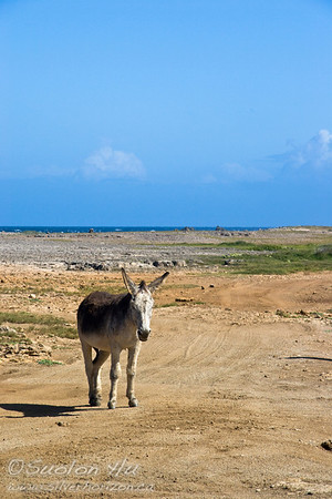 Local donkey near Bushiribana Ruins, Aruba