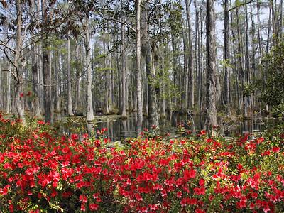 Azaleas in the Swamp