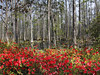 Azaleas in the Swamp