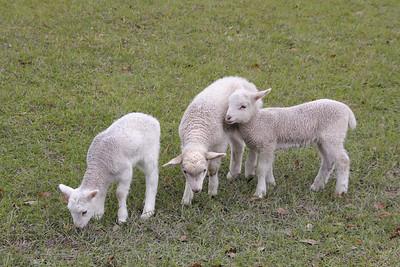 Spring Lambs at Middleton Plantation