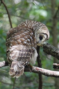 Barred Owl in the Wild at Biedler's Forest, SC