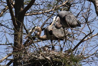 Proud Parents - Great Blue Heron chick