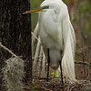 Great White Egret in breeding plumage Audubon Swamp Garden Charleston, South Carolina