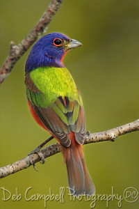 Male Painted Bunting Botany Bay Plantation Edisto Island, South Carolina  To view more photos from my recent trip to South Carolina, including Botany Bay, visit the South Carolina 2014 Galleries.  http://www.debcampbellphoto.com/Travel/South-Carolina-Trip-2014