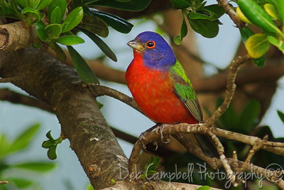 Male Painted Bunting Botany Bay Plantation Edisto Island, South Carolina