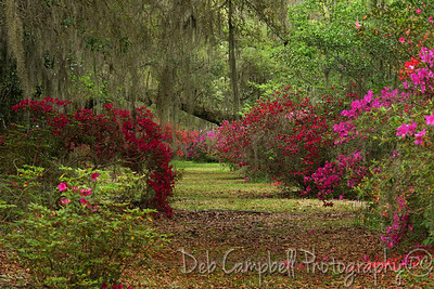 Springtime Azaleas and Spanish Moss covered Oaks abound at  Magnolia Plantation Charleston, South Carolina