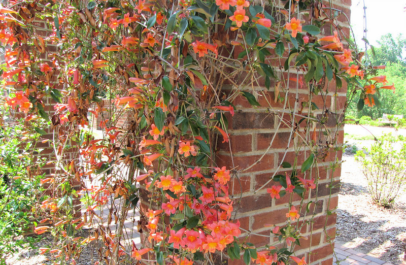 Trumpet Vine on Trellis - Hopelands Gardens - Aiken, SC - 5/15/10